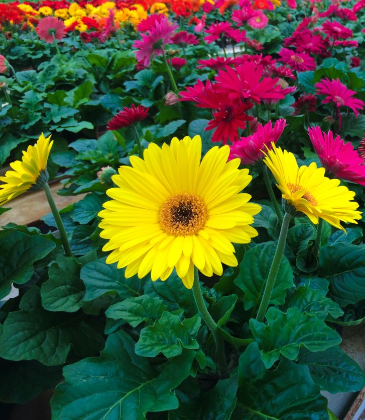 blooming-yellow-gerbera-daisy-masson-farms