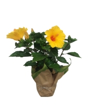 yellow-hibiscus-plant-7-in