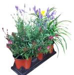 3-pack-perennials-wholesale