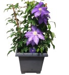 10-in-outdoor-clematis-wholesale