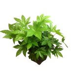 10-in-fatsia-wholesale