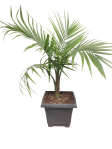 majesty-palm-10-in-wholesale