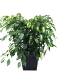 ficus-benji-10-in-wholesale