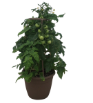 tomato-plant-wholesale-12-in