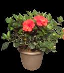 14-in-red-hibiscus-outdoor