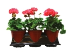 geraniums-wholesale-1-gal-planters