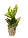 4-5-in-croton-wholesale