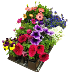 annuals-8-pack-wholesale
