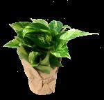 pothos-4-5-in-wholesale