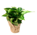 pothos-4-5-in-wholesale