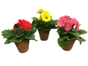 gerbera-daisy-assorted-masson-farms