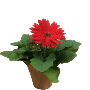 red-gerbera-daisy-masson-farms