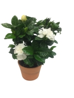5-in-gardenia-in-clay