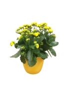 masson-farms-yellow-calandiva-6.5-in