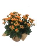 orange-calandiva-masson-farms-blooming