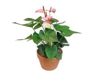 7in_Anthurium_Pink