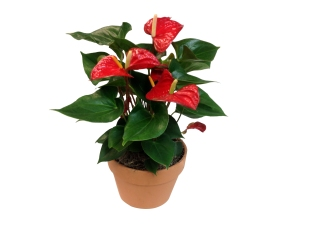 anthurium-7-in-wholesale