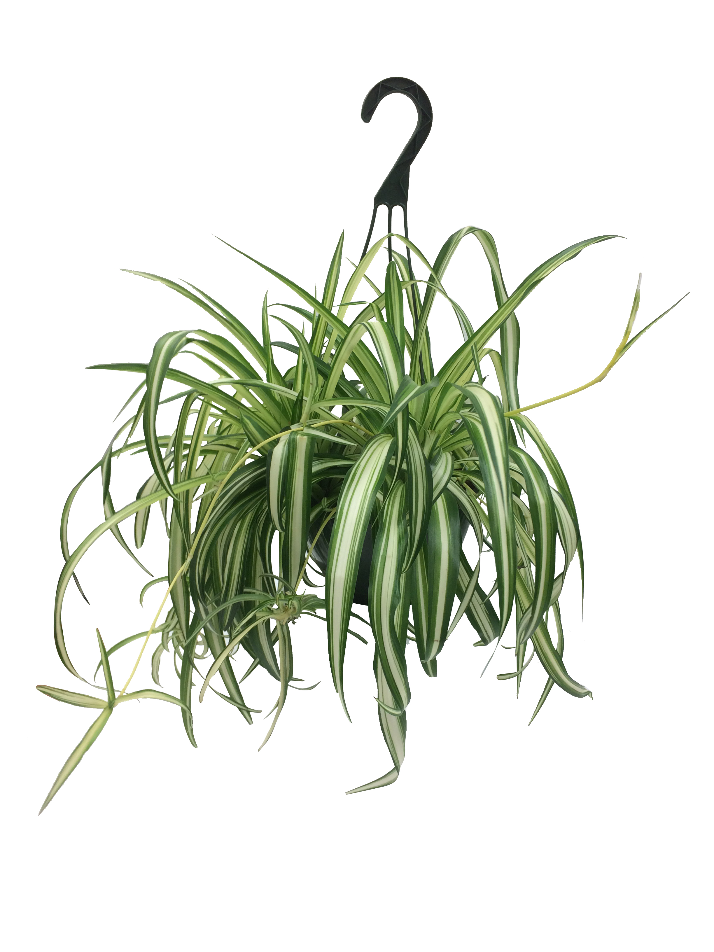 100 can spider plants be outdoors indoor plants garden for Spider plant dogs