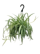 hanging-spider-plant-masson-farms