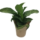 diffenbachia-6-in-foliage-masson-farms
