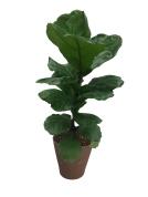 ficus-lyrata-fiddleleaf-fig-6-in-premium-foliage