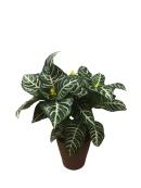 premium-foliage-zebra-plant