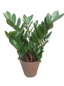 6-in-premium-foliage-zz-plant