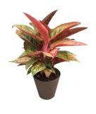 6-in-premium-foliage-red-aglaonema