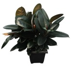 ficus-robusta-foliage-10-in