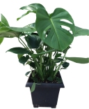 split-leaf-foliage-plant-10-in
