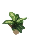 dieffenbachia-compacta-masson-farms