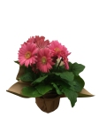 pink-gerbera-daisy-masson-farms