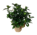 gardenia-7-in-white-masson-farms