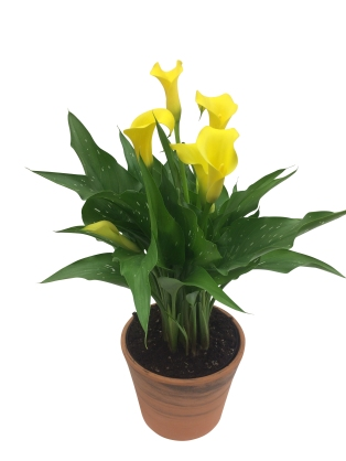 7-in-yellow-calla-lily-masson-farms-of-new-mexico