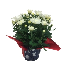 6in-white-mum-patriotic-wrap-fourth-of-july-masson-farms-of-new-mexico