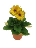 gerbera-daisy-yellow-small-masson-farms-of-new-mexico