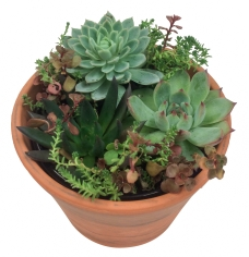 masson-farms-wholesale-succulent-assortment-small-garden