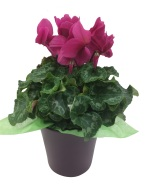purple-ceramic-pot-6.5in-pink-cyclamen-masson-farms