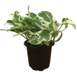 4-5-in-pearls-and-jade-pothos