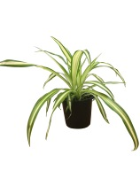 4-5-in-spider-plant