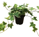 4-5-in-variegated-ivy