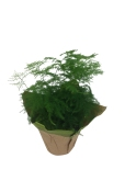fern-plumosa-4-5-in-foliage