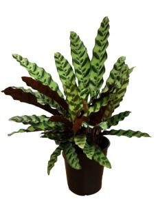 6 in Calathea Lancifolia