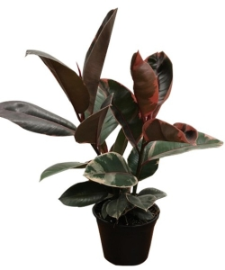 6-in-ficus-ruby